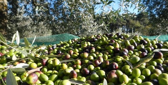 olio-salento-extravergine-oliva